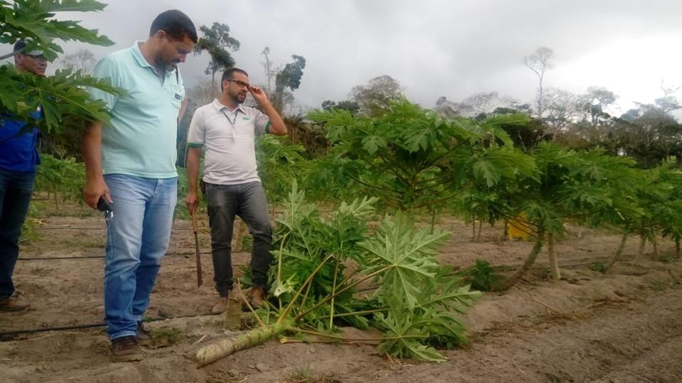 Operação Papaya: Idaf realiza ações fiscalizatórias para combate ao mosaico e à meleira do mamão no Estado